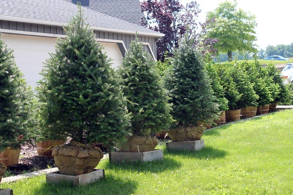 Pine trees landscape the image kid has it for Tree landscaping ideas